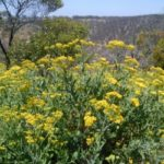 Beautiful yellow wild flowers at the Werribee Gorge
