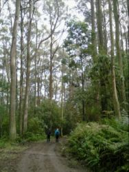A misty morning on the Macedon Ranges Walking Trail