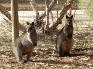 Black wallabies at Serendip Sanctuary