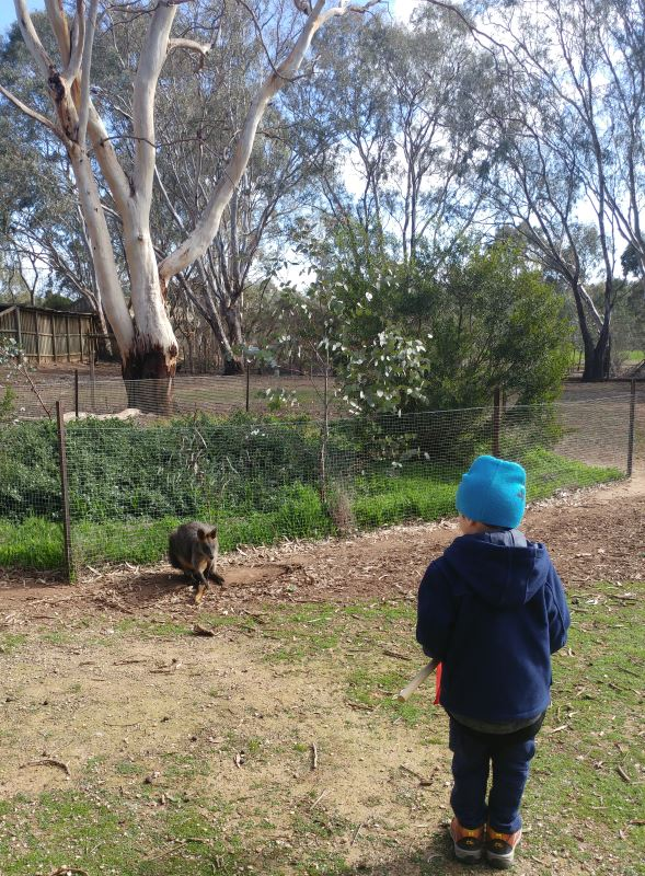 Getting up close with black wallabies at Serendip Sanctuary